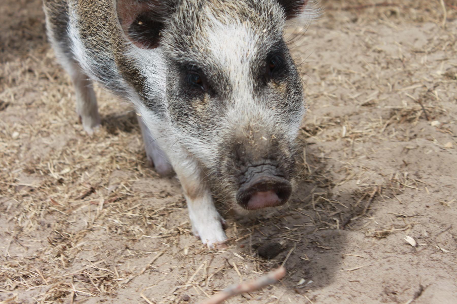 Pet Mini Pigs Hazel Amp Coco Maizey Meadows