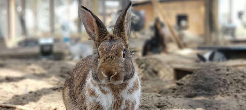 Rabbits Maizey Meadows