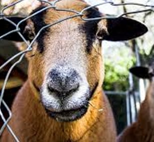 Raising Backyard Goats - Maizey Meadows
